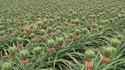 Aviez-vous déjà vu un plant d'ananas ?