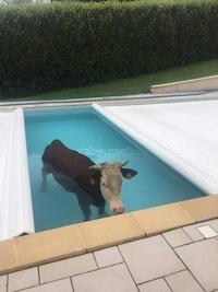 Y a une vache dans la piscine
