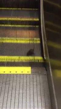 Un rat dans les escalators