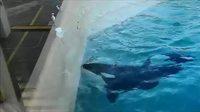 Une orque pêche avec un poisson