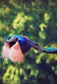 Un paon en plein vol.