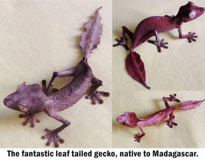 Il n'y a pas que les insectes et les calamars aptes à avoir recours à des formes de mimétisme / camouflage très élaborés, ce gecko prend l'aspect de feuilles mortes pour survivre en leurrant ses prédateurs...  => Gecko Feuille : https://fr.wikipedia.org/wiki/Uroplatus_phantasticus