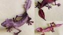 """""""Gecko -Feuille"""" de Magagascar"""