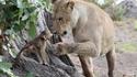 La lionne et le singe