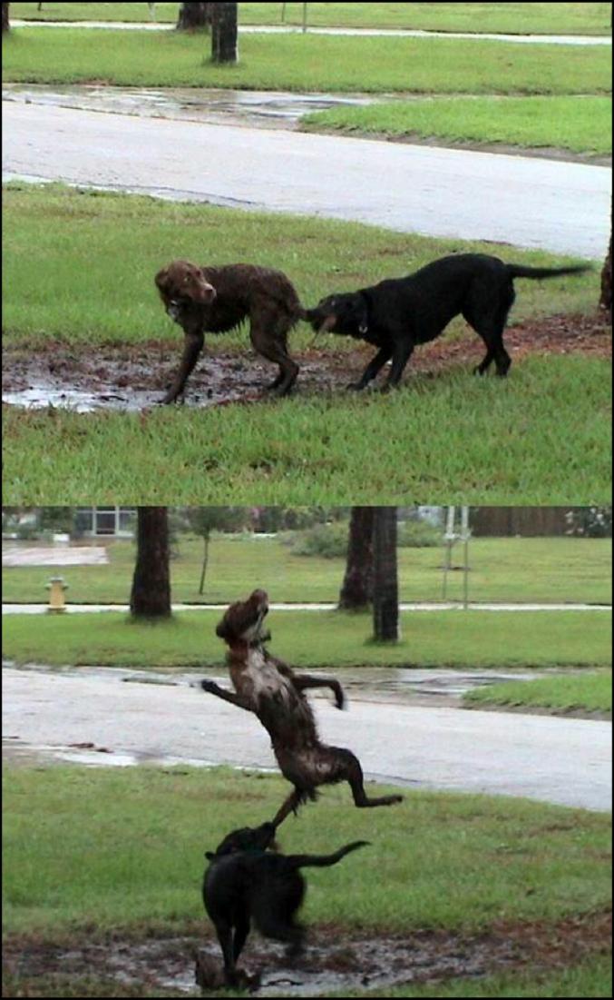 Un chien costaud.