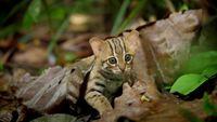 Chat rubigineux