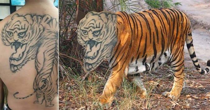 """Un """"tigre""""."""