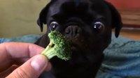 Un chien qui aime les brocolis