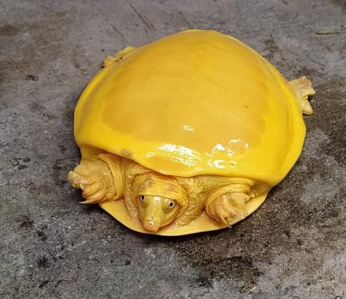 Mais une tortue albinos découverte par un fermier en Inde.