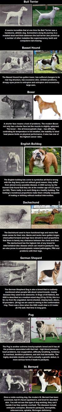 Races canines : le résultat d'un siècle de sélection
