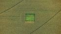 Carré de cannabis dans un champs de maïs