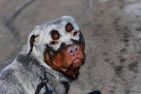 Rottweiler avec un vitiligo