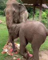 Manger comme un éléphanteau
