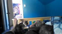 Bataille de chat