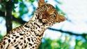 Juste un léopard