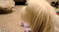 Un bébé se moque d'un chien
