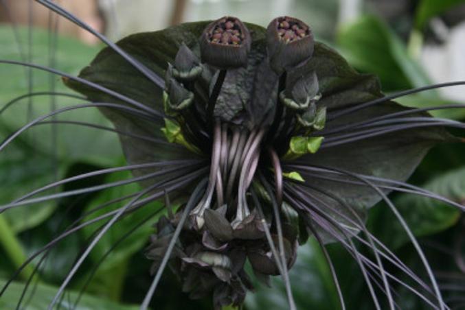 Tacca est un genre de plantes de la famille des Taccaceae selon la classification classique, ou des Dioscoreaceae selon la classification phylogénétique. Il comprend environ 30 espèces des plantes monocotylédones. Ici Tacca chiantreri (ou fleur chauve-souris) qui rentre en graine; elle est commune en Thaïlande, Myanmar (Birmanie) et parties tropicales du sud-est de la Chine.