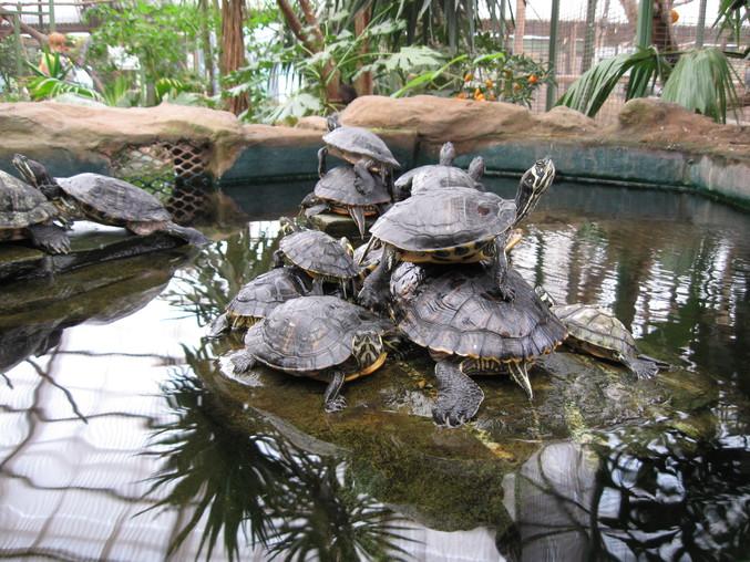 Concours de pyramide de tortue.