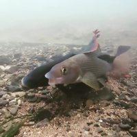 Avez vous déjà vu un poisson avoir un orgasme ?