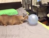 Lynx qui éclate un ballon