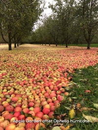 Tapis de pommes